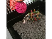 4 FEMALE RATS FOR SALE WITH CAGE