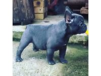 Pedigree Blue French Bulldog