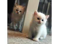 Ragdol a boy kitten pointed flame