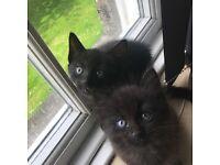 Beautiful fluffy black part ragdoll kittens