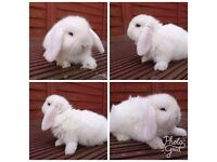 Blue Eyed White Mini Lops For Sale