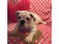 British Bulldog!!!