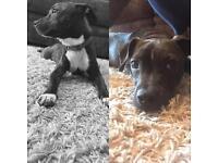Staff x Boston terrier