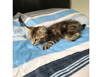 Tabby kitten for sale male