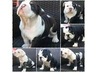 kc reg bulldogs puppies (choc,blue,black tri)