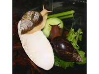 2 Giant african land snails, one rare albino, with tank, cuttlefish, soil and bark chips