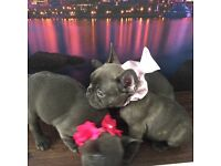 Quality French bulldog puppies for sale kc registered!!! Ready for new homes