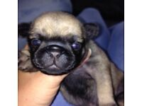 Beautiful kc reg pug pups