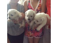 West highland terrier puppies 3 females