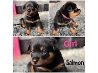 Gorgeous KR Pedigree Rottweiler Puppies