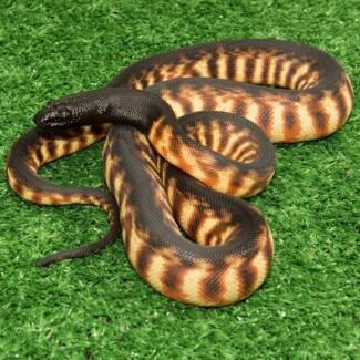 Black Headed Python Hatchling