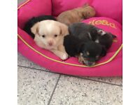 Stunning Chihuaha puppies for sale