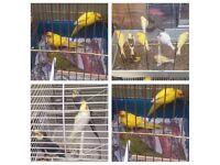 Cocktail, canary & kakariki birds
