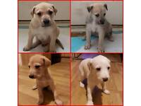 Bedlington wippet x saluki Puppies for sale