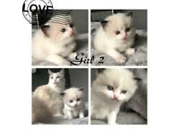 Ragdoll Kittens 🐱