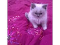 Birman Seal Point Ragdoll blue eyed Kittens ready to leave to forever home now. indoor cats only