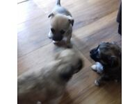 Puppies Forsale Chihuahua Cross 2 boys 1 girl