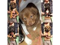 Lab cross pups