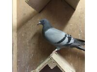 Young pigeons for sale.