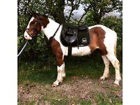14hh skewbald gelding horse pony