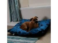 Pug cross jackrussel 11 month old