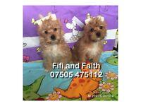 Yorkshire Terrier Ocean Pearl puppies for sale