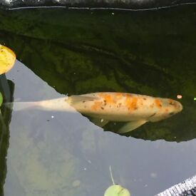 1 Large Ghost Carp & 1Large Blue Orf Fish for Sale