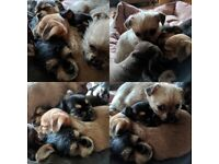 Chihuahua x shorkie available now HERTFORD £450 for the one remaining boy and £500 for each girl