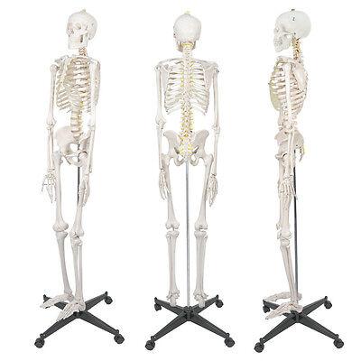New 5.9 Life Size Human Skeleton Anatomical Medical Recreational Model Stand