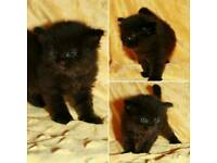 Black and tabby siberian kittens available
