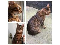Missing Bengal Cat