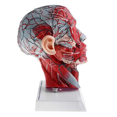 Anatomical 11 Human Head Skeleton Neck Model Wvessel Nerve Lab Ornament