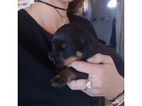 Rottweiler puppies for sale only girls left