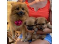 Pomeranian puppies 1 boy and 1 girl