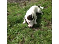 Englishbull terrier cross Staffordshire bull terrier