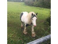 Gypsy cob mare