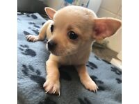 last Female chihuahua (smallest in litter)