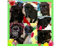 Kc reg pug pups ready now for loving homes 🐶