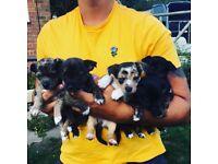 Jackawawa puppies for sale 2 boys and 2 girls