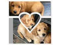 Last 3 Adorable Toy Cockapoo Puppies - boys