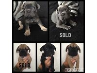 ***french bulldog puppies for sale 3 boys left ready to leave now 8 weeks old ***
