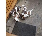 KC registered Springer spaniels puppies