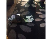Large yellow belly turtle with 4ft tank !!!! OFFERS !!!!