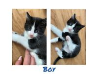 6weeks Kittens