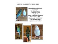 Missing Family Pet Budgies - Opal & Sapphire PLEASE HELP!
