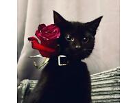 Gorgeous British Short Hair Black Kitten