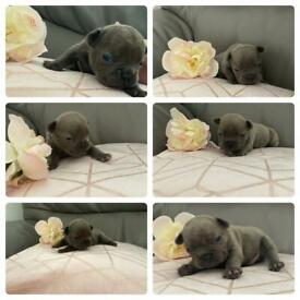 Isabella lilac french bulldog puppies