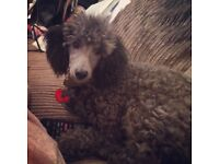 6 month old silver miniature poodle