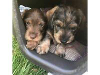 Mininature wire haired daschund puppies