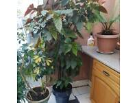 6ft large plant